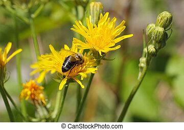 bee on the blooming hawkweed