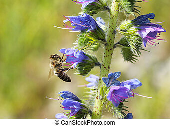 bee on the blueweed