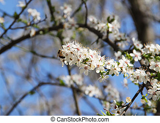 bee on the cherry tree twig