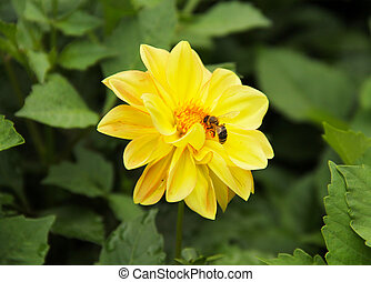 bee on the Chrysanthemum