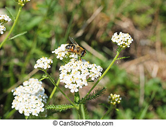 bee on the ground elder