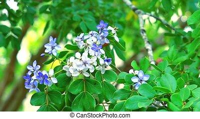bee on the pollen of Lignum vitae blue white flowers 1