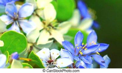 bee on the pollen of Lignum vitae blue white flowers