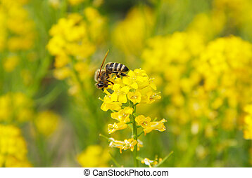 bee on the rapeseed