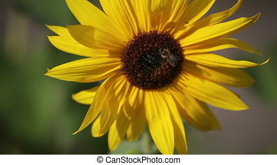 Bee on the sunflower