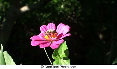 Bee on the Wonderful Flower in Summer. Full HD