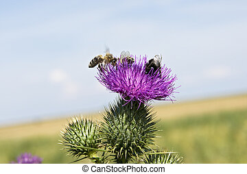 Bee on thistle flowers