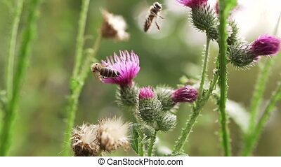 Bee on violet thistle flower collecting nectar. Common...