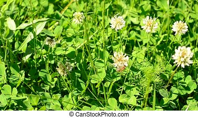 Bee on white clover flower in a meadow