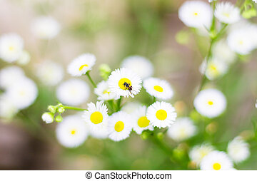 Bee on white daisy flower