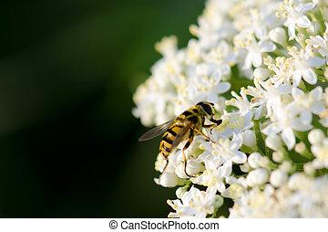 Bee on white wild flower
