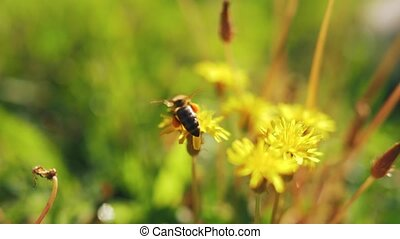 Bee on yellow dandelion