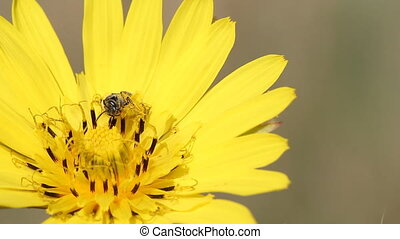 bee on yellow dandelion close up