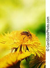 bee on yellow dandelion macro photo