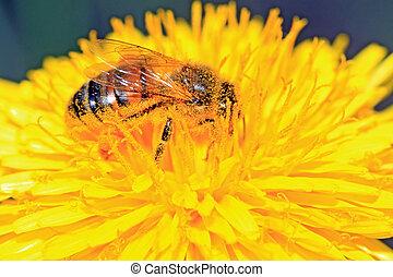 bee on yellow dandelion