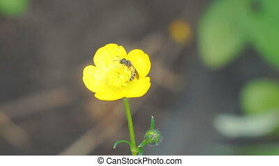 Bee on yellow flower - Bee on yellow Buttercup flower