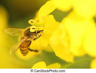 Bee on yellow flower - Closeup image of bee on the yellow ...