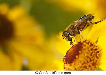 Bee on yellow flower
