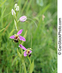 Bee orchid 2