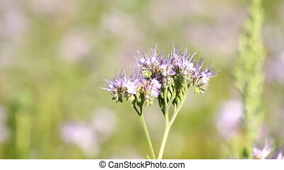 Bee Pollinate phacelia flower - Bee Pollinate on the...