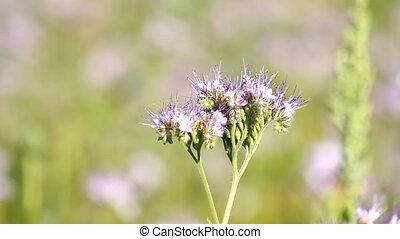 Bee Pollinate phacelia flower - Bee Pollinate on the...