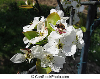 Bee pollinates a pear blossom in spring . Tuscany, Italy