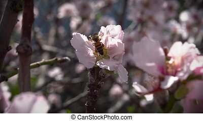 bee pollinates almond flower in spring