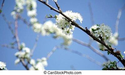 Bee pollinates flowers on trees - The bee pollinates flowers...