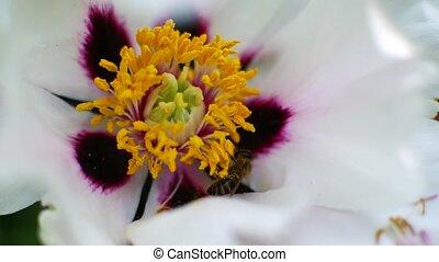 Bee pollinates white flowers. Honey harvest season. - Bee...
