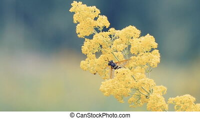 Bee pollinates yellow flower - Bee pollinates yellow meadow...