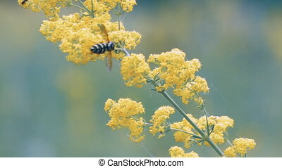 Bee pollinates yellow flower