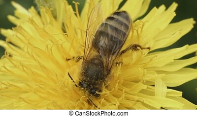 Bee pollinating a flower of a dandelion close up