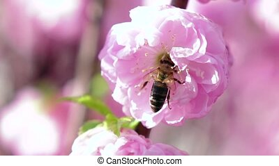 Bee pollinating apricot blossoms in spring. Close up. Slow...