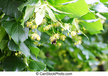 Bee pollinating flowers on linden tree
