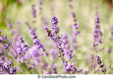 bee pollinating lavender flowers in summer garden - ...