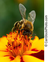 Bee Pollinating Marigold Flower Close-Up - A close-up of bee...