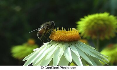Bee Pollinating Summer Daisy Flower