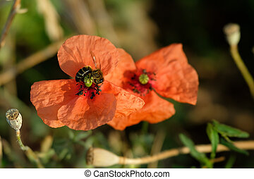 Bee pollinating the poppy in a meadow