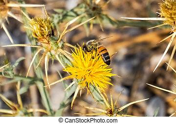 Bee pollinating Yellow star thistle (Centaurea solstitialis), California