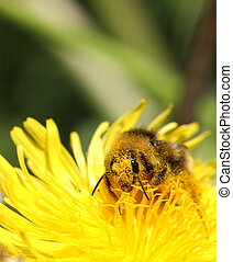 Bee Pollination - A macro of a Bombus species Bumble Bee ...