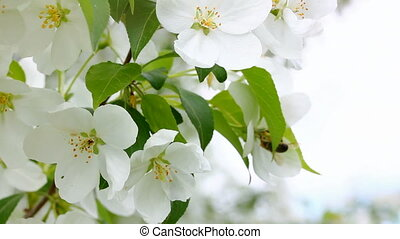 bee pollination and apple tree flowers