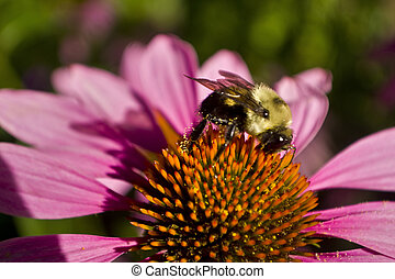 Bee profile on Echinacea flower close up