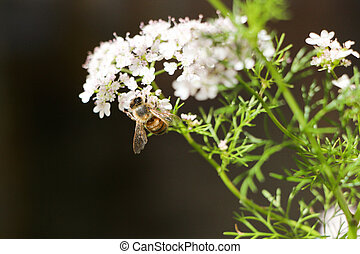 Bee resting on a white flower ready to pollinate