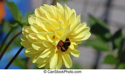 Bee sits on a yellow flower of a dahlia
