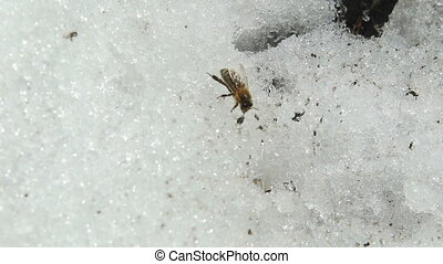 Bee sitting in the snow