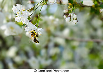 Bee sitting on a branch of cherry.