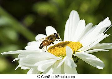 Bee sitting on camomile.