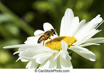 Bee sitting on camomile.