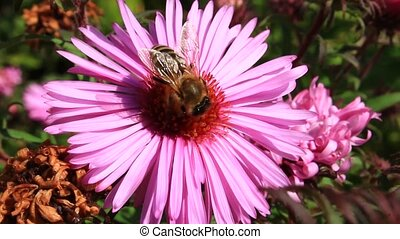 bee sitting on the asters