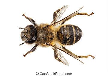 Bee species apis mellifera common name Western honey bee or...
